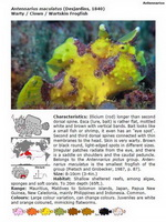 Description of 25 frogfish species