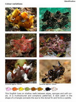 Colour variations in frogfish species